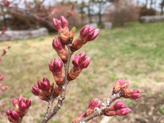 桜の便りが届く季節ですね。